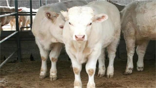 怀孕母羊冬天怎么养