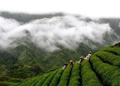 一杯生态茶是一条小康之路——浅析贵州生态茶产业的致富效应