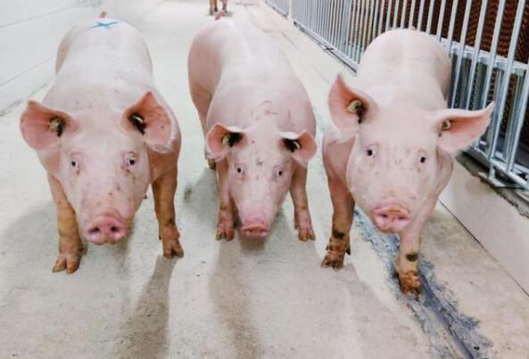 """海南单一最高保额""""生猪+期货""""价格保险单降低水产养殖企业运营风险"""