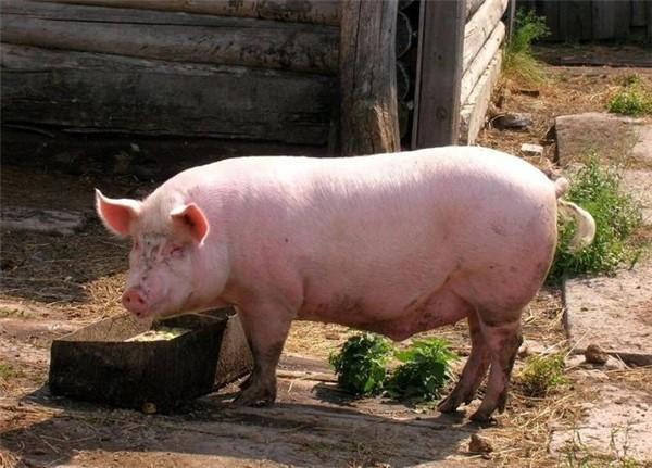 13元的猪价跌了,但散养户很开心,只是因为他明白了更深层次的道理