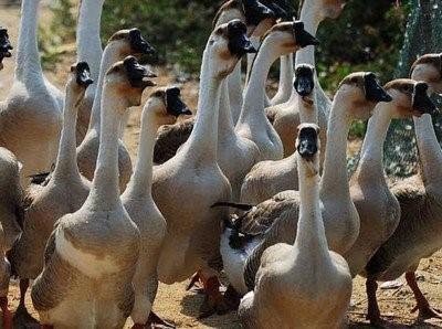 养鹅市场怎么解决?养鹅有风险吗?