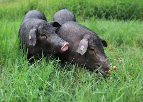 农业农村部:研究建立猪整个产业链权威信息发布系统