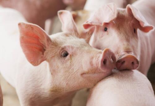 生猪:对大型猪和标准猪的需求有所不同或继续扩大