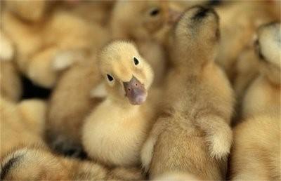 怎么喂小鸭子?雏鸭的饲养方法和管理