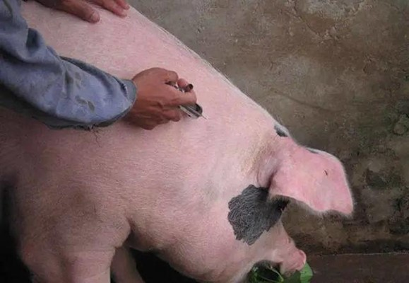 你知道母猪这辈子要打这么多疫苗吗?