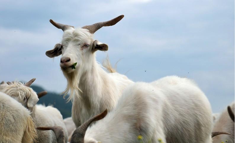 农民必须牢记一些常见羊病的诊断技巧