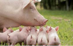 母猪子宫炎症的分类、预防和治疗