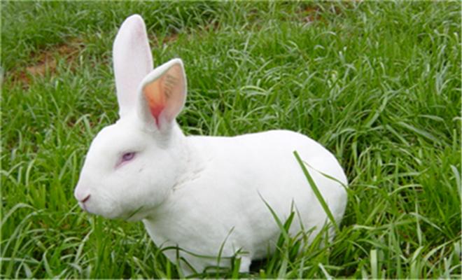 提高肉兔生长速度的技巧