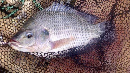 再上去!鱼价好刺激育苗。你喜欢市场前景吗?