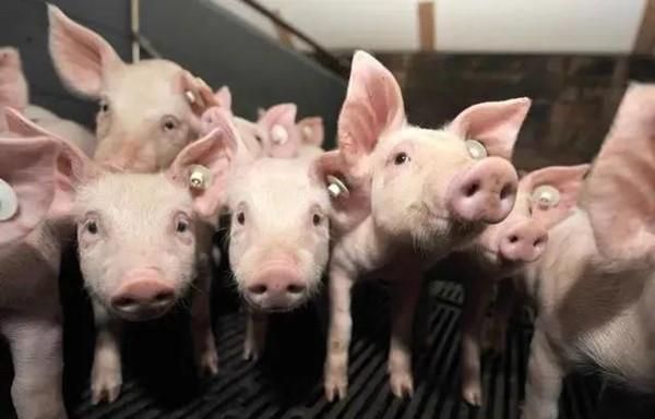 养猪小技巧和6招让养猪的人学会引诱小猪!