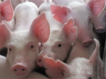 猪的价格迅速下降,离红烧肉的自由不远了。