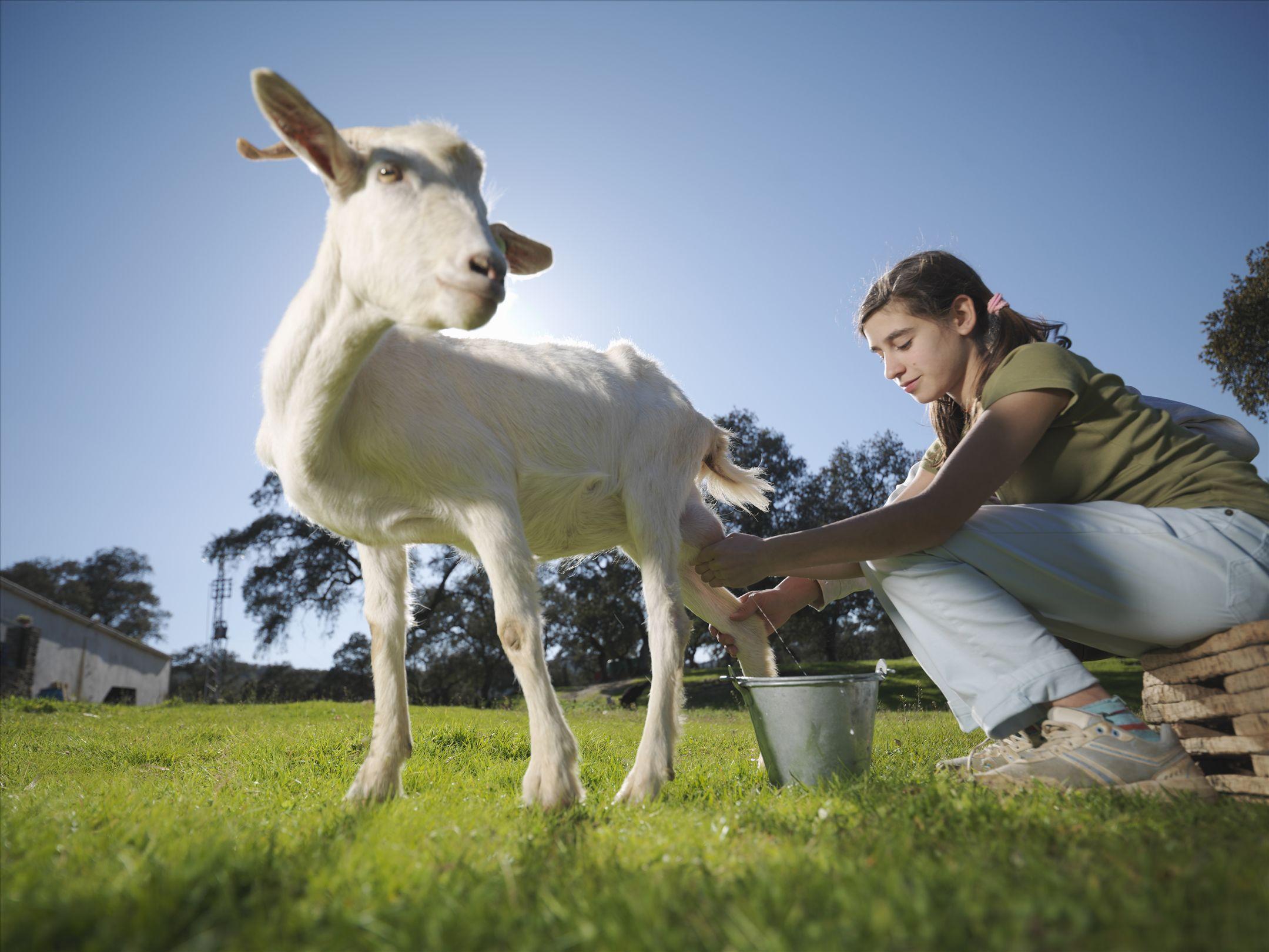 羊奶粉欢迎涨价?第一季度新鲜羊奶的收购价格上涨了40%