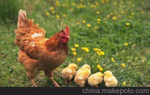 火鸡蛋的选择、保存和消毒