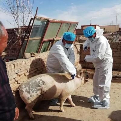 还得了口蹄疫,为什么有的猪场治愈率低?