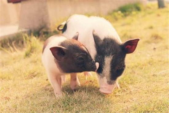"""猪价""""横盘"""",那是涨还是跌?看老猪农怎么说!"""