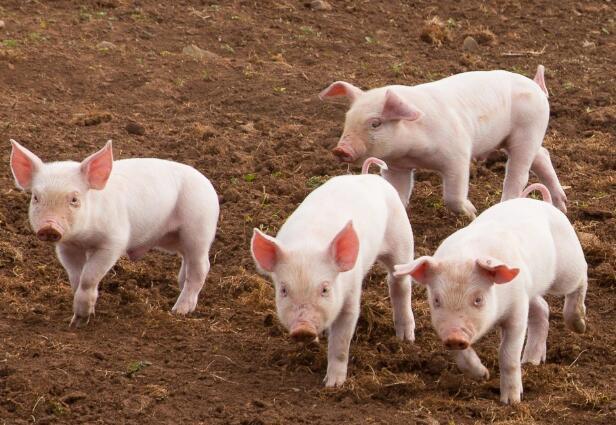 自3月份以来,生猪价格下跌了20%以上