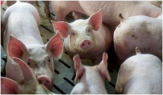 """""""落户山西""""选育国内最佳良种公猪"""