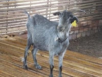 绿山羊养殖前景如何?青山羊育种建议