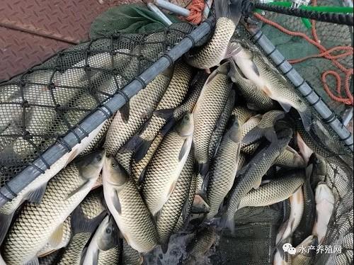 缺货!抓住鱼!战斗!常规鱼市场还是火热的!5月份鱼价还会继续上涨吗?