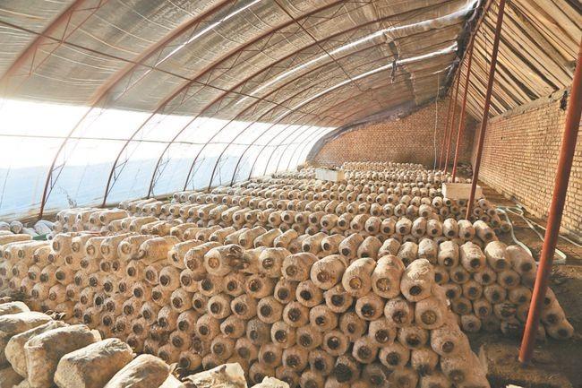 山东省利津县:蘑菇棚孕育了小康的希望