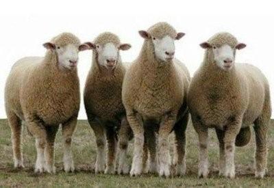 养羊需要哪些技术,肉羊养殖的效益分析