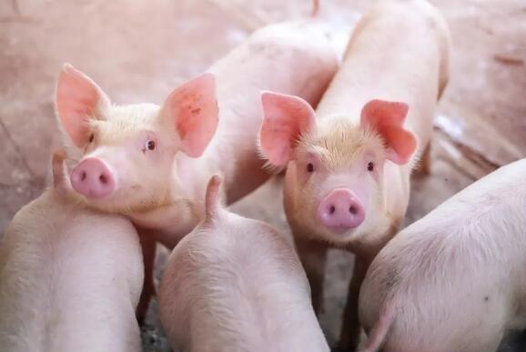 现在是填猪高峰期,一定要注意这些!