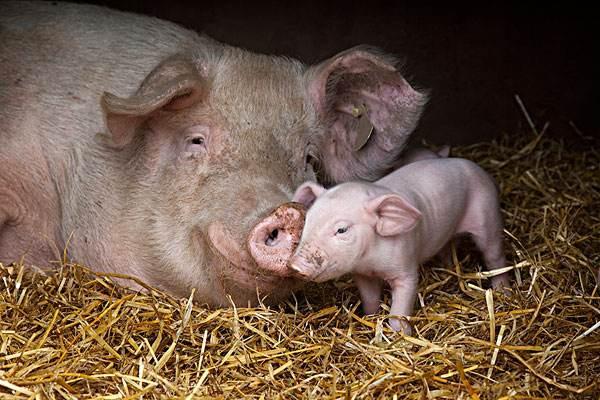 如何饲养长白猪