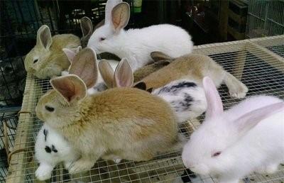 提高獭兔产量的技巧