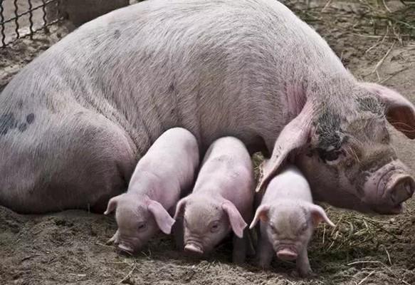 如何辨别母猪发情?学点东西!