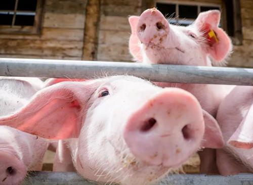 【技术】实用!防止产后母猪咬小猪的十大措施!