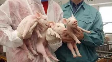 给猪注射血液的方法有很多。你认识几个?