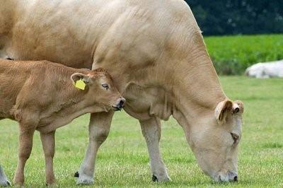 夏洛莱牛的价格是多少?夏洛来牛的养殖前景如何?