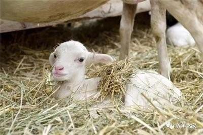 绵羊在春天怎么长得快?春季养羊技术指南!