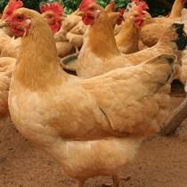 三黄鸡有哪些品种?如何选择优质的三黄鸡品种?