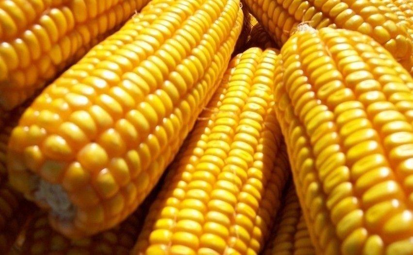 玉米价格正在下跌,并将在高位波动