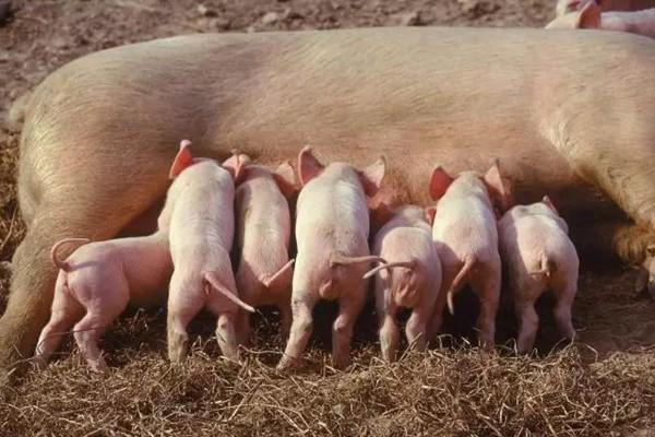实用!猪的结构和存栏猪的数量都可以这样计算!