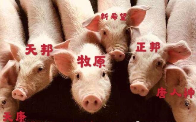 生猪期货上市3个多月。正邦、新希望、沐源等企业进入市场后都做了什么?