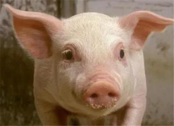 """生猪运输新规实施!""""北方猪运南""""的局面正在向""""北方肉运南""""转变"""