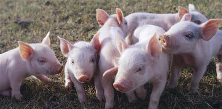 """黑龙江显示出""""大厨房""""的实力:肉、蛋、奶自给自足,每天出口700吨京沪猪肉"""