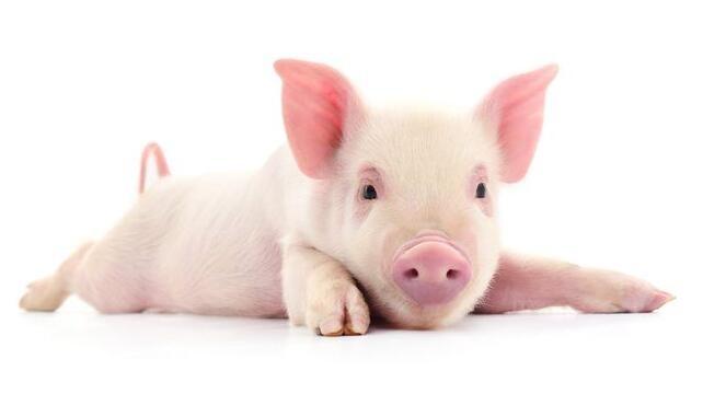 猪喝尿,过来看看怎么办
