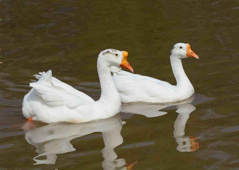 大白鹅的养殖技术有哪些?大白鹅养殖注意事项