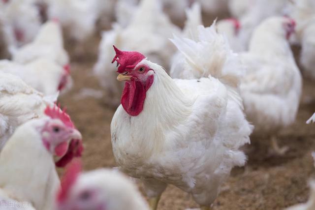 白羽鸡的价格涨了,鸡的价格也跟着涨了。怎么编栏目最合适