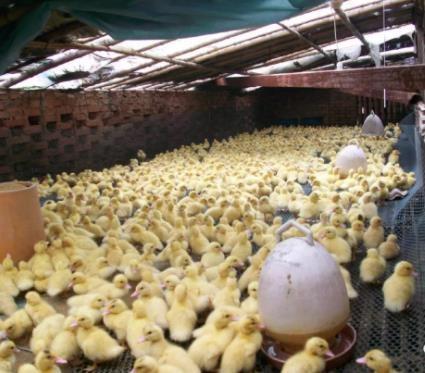 这个行业每天生产多少只小鸭子?养殖成本居高不下,为什么冷冻产品要退货降价?