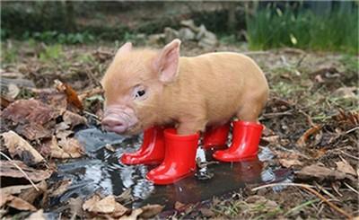 白天让母猪生。没必要熬夜生母猪!