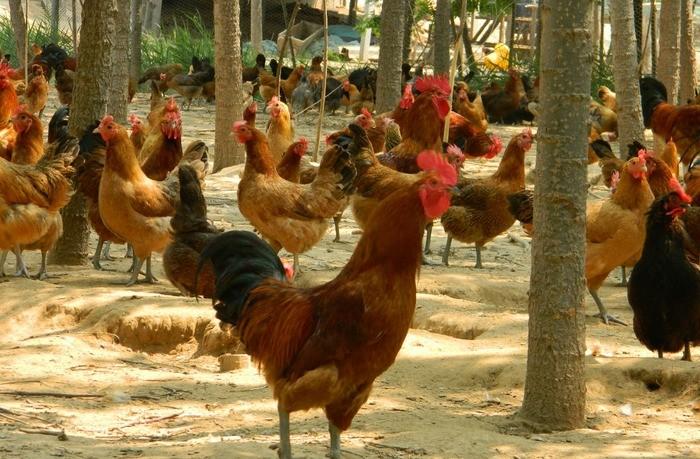 农村的散养鸡喂这些水果蔬菜,对它们的生长和产蛋很有帮助!