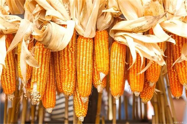 玉米一天下跌50元,影响未来玉米市场价格的因素有四个。3月份玉米市场分析