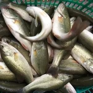 18元/斤!鱼价暴涨带动苗价暴涨!全国也在追捧这条鱼,江浙鱼车排队抢苗