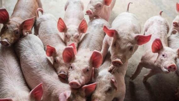 湖北农业生产保持稳定,生猪出栏量同比增长95.5%
