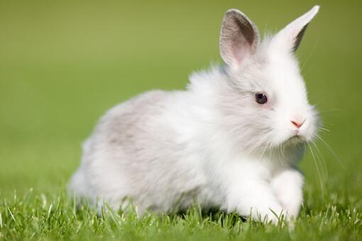 农村养殖长毛兔要注意这几点,兔毛质量会更好!