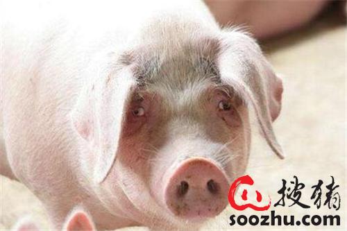养猪户春天必须做的四件事,都影响养猪场的利润!